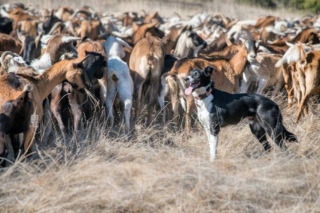 Border Collie dogs were bred to herd sheep.