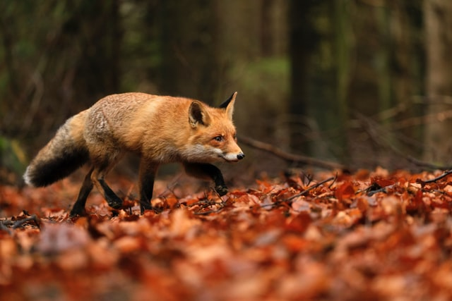A fox name taken from the fictional world? There are many of them to keep you amazed.