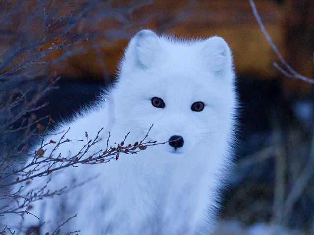 A fox with pet attributes gets the most attention for its charm and enticing features.