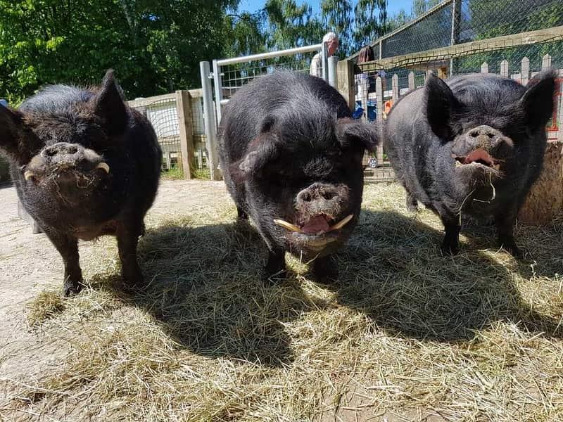 Three kunekune pigs standing on some hay at Hanwell Zoo.