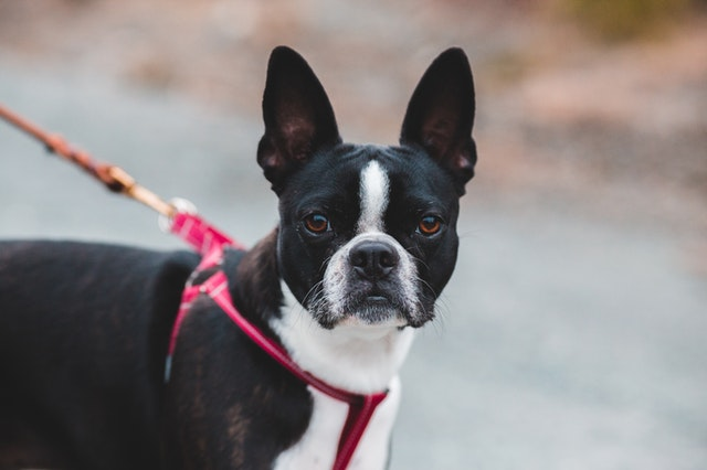 Male Boston terriers bring a lot of affection with them and deserve loving names.