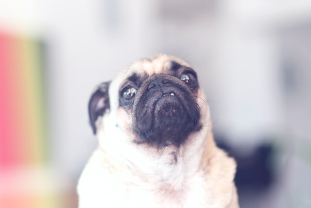 (A pug name should resonate with the pug's sassiness.