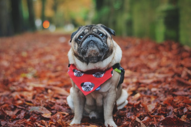Pug names should not only sound meaningful but should also be adorable.