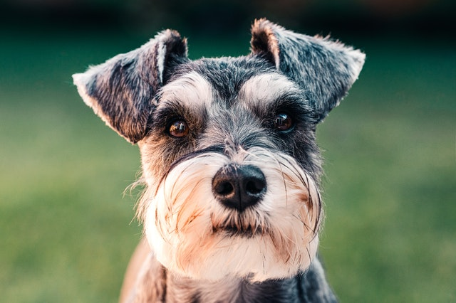 Miniature schnauzer dogs are the most appropriate choice for small dogs lovers and they deserve great dog names.