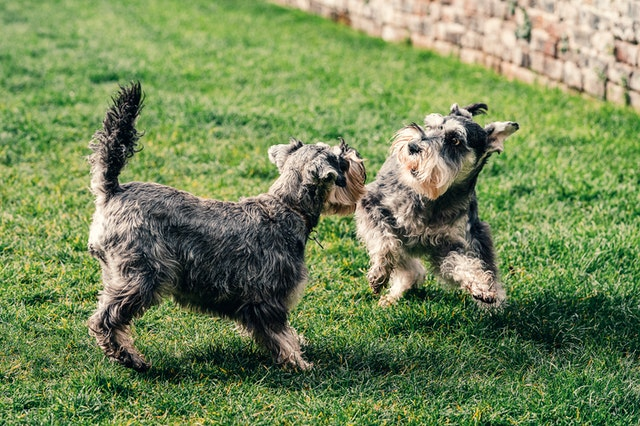 Miniature boy schnauzer dog breeds are one of the best breeds to pamper and give cute dog names to.