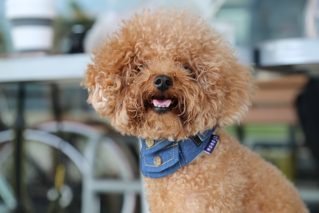 Poodles are an intelligent, energetic, and fun breed of dogs.