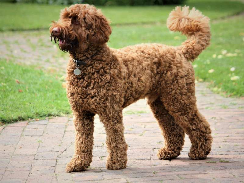 Poodles are instantly recognizable due to their thick, curly coat of fur.