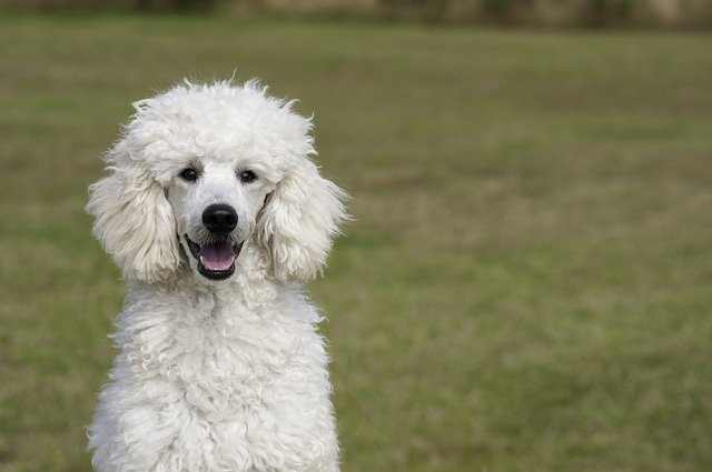 Poodles are amongst the most intelligent breed of dogs and are great at canine sports.