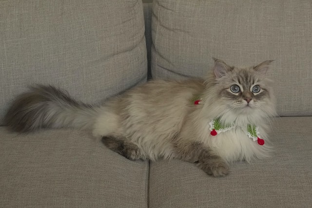 Christmas is the best time to enjoy with your close ones and your cat.