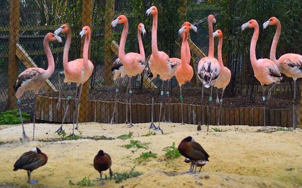 A group of flamingos at Hanwell Zoo.