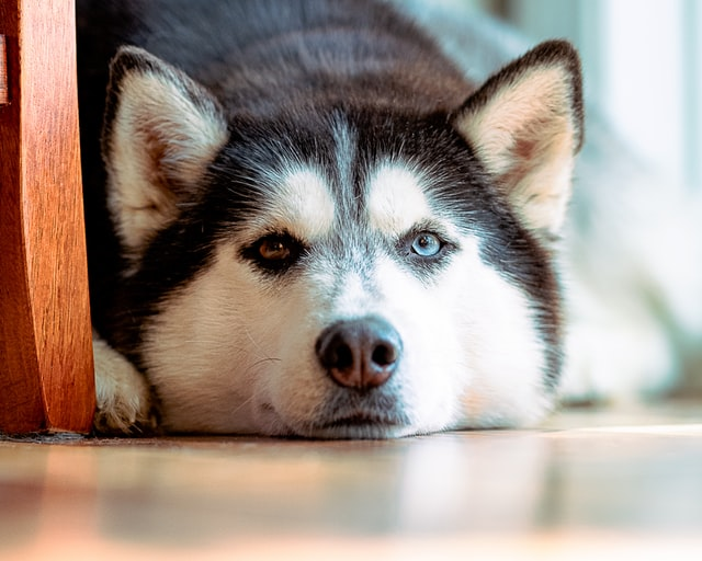 Huskies are so sweet and loyal but they need a lot of exercise.