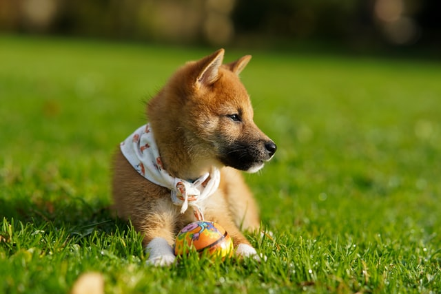 The Shibu Inu is a very popular dog breed in Japan.