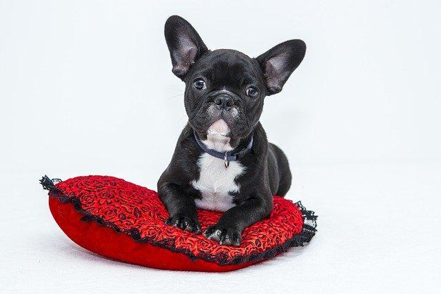 Grumpy-looking black Bulldog puppy.