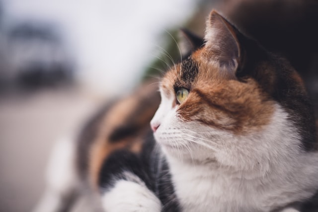 Find royal names for a female calico cat here.
