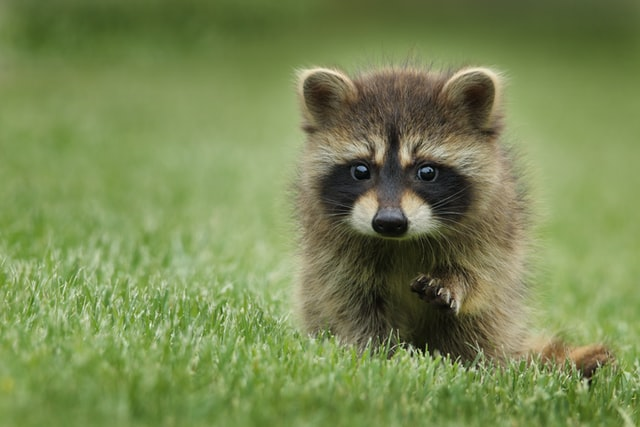 An adorable raccoon deserves an adorable name.