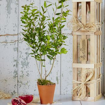 Pomegranate 'The Tree Of Love' Gift