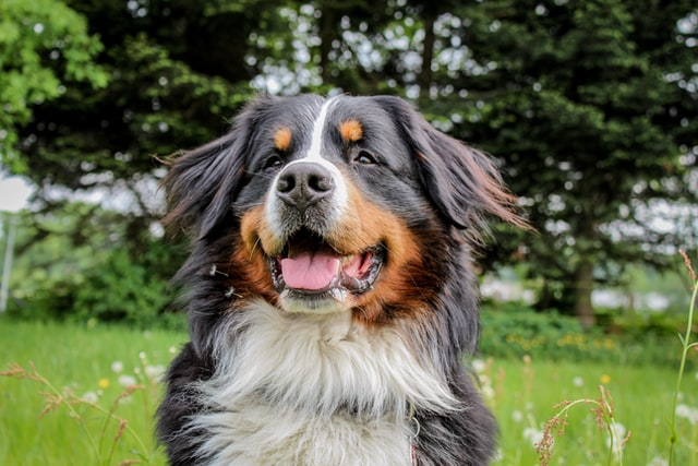 The female Bernese mountain dog is a strong breed.