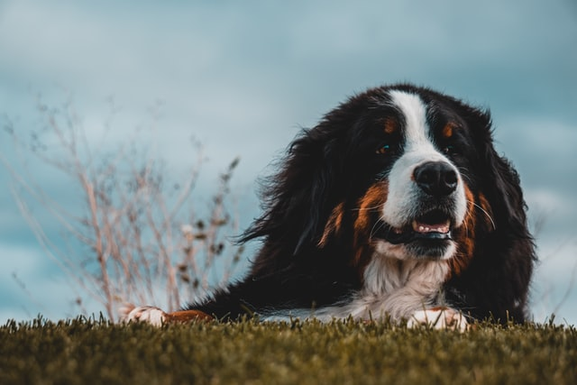 The Bernese mountain dog is one of the most attractive of the Swiss working dogs.