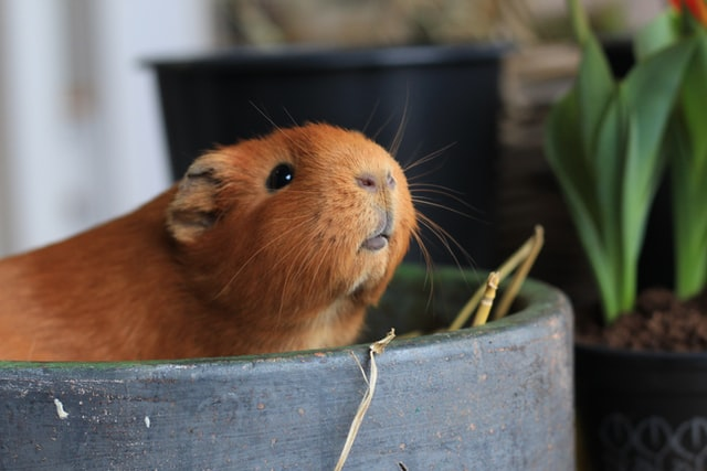 Your sweet little guinea pig deserves a sweet name matching its personality.