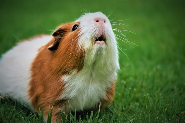 Guinea pigs are very affectionate animals.