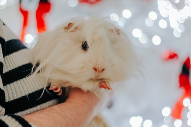 Funny guinea pig name for your small pet, can be a great naming option.