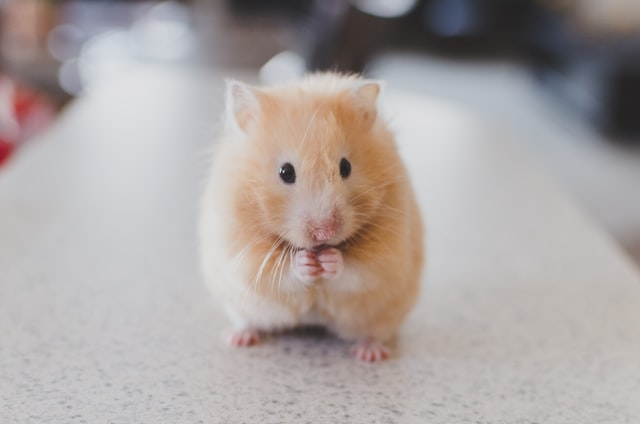 Hamsters are really a bundle of cuteness are a great friend for your child.