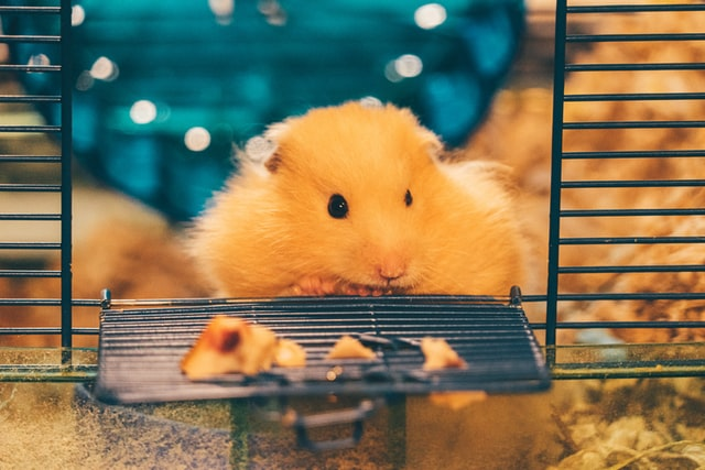 Hamsters can stay in cages but they are loved by all hamsters and humans.