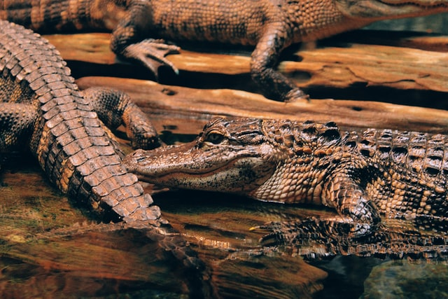 Crocodiles are semi-aquatic animals, spend half of their time on land and half in water.