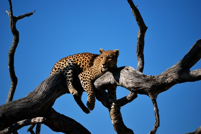 Leopards are beautiful creatures and have a great majestic behavior about them.