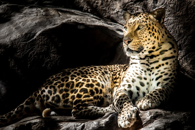 "The word leopard comes from the French term liepart, which means ""lion""."