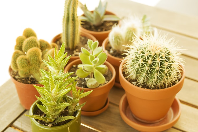 """Funny Plant Names For Cacti https://images.unsplash.com/photo-1586275381277-ef645628e280?ixlib=rb-1.2.1&ixid=eyJhcHBfaWQiOjEyMDd9&auto=format&fit=crop&w=751&q=80  (Find funny cacti names here.)  Cacti have a unique look, they are strong and spiny and mostly green. They deserve great funny names from this list.  1. Avocado (Spanish Origin) the name of a popular soft green fruit, the irony of this one makes it funny.  2. Dia (English origin) inspired by the genus of cacti.   3. Jim (English Origin) meaning """"supplant"""".  4. Katniss, for fans of 'The Hunger Games'.  5. Oxalis, a type of cacti found in Brazil and Mexico.  6. Pointy, meaning """"sharp point"""".  7. Pearl (English Origin) this is a cactus grown in hanging baskets.  8. Ruby (English Origin) the leaves of this plant blush in red color, and so it got the name Ruby.   9. Ruff (German Origin) meaning """"red haired"""".  10. Spike (American Origin) meaning """"long"""" or """"heavy nail"""".  11. Woody (American Origin) meaning """"cartoonish"""" or""""tree"""".  Funny Plant Names For Flowering Plants Here are some common names of flowers and flowering plants that could be funny and cute nicknames!  12. Bloom (Multiple origins) meaning """"fragrant floral"""".  13. Blossom (English origin) meaning """"to bloom"""".  14. Butcher's Broom, is a little evergreen shrub.   15. Cockle (French origin) meaning """"a shell"""".  16. Corpse Flower, this flower takes forever to bloom and has a really foul odor.   17. Florence (Latin Origin) meaning """"prosperous"""".  18. Hana (French Origin)  meaning """"blessed"""".  19. Kangaroo Paws, is a plant which looks a little like kangaroo feet.  20. Kitty (English Origin) meaning """"pure"""".  21. Lawrence (English Origin) meaning """"bright"""".  22. Linda (Spanish Origin) meaning """"pretty"""".  23. Lizzie (Multiple origins) meaning """"God is abundance"""".  24. Mousetail, is a plant with deep maroon blooms with tail-like tips.   25. Orlando Bloom, the perfect name for flowering plants.   26. Rihana (Irish Origin) meaning """"sweet basil"""".  27. Selma (Multiple Ori"""