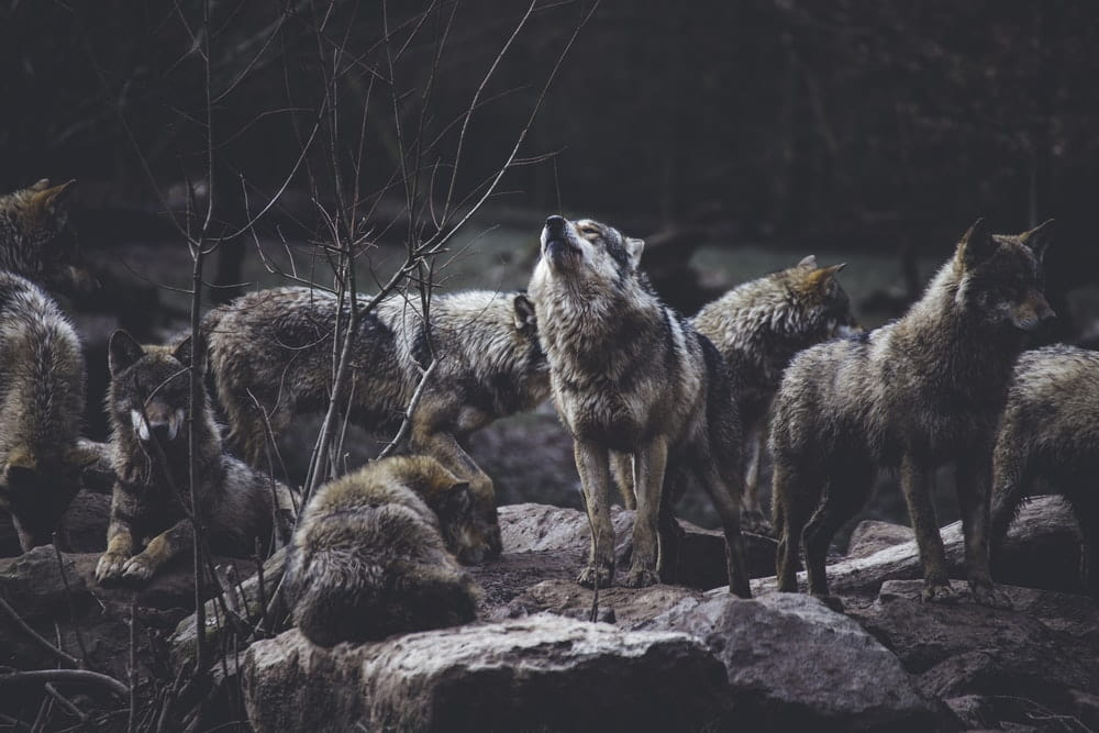 Wolves are great to name your child after as they are loyal, tough, and sweet.
