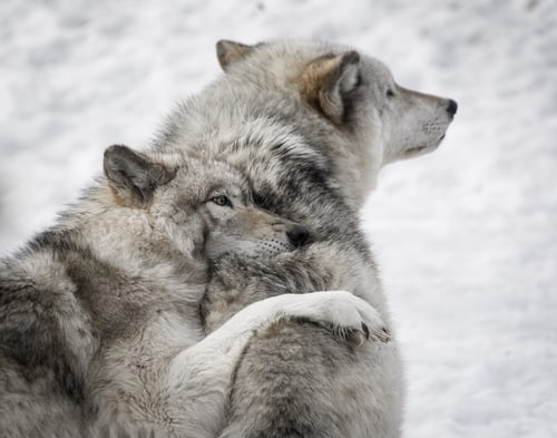 Wolves have tight knit family bonds