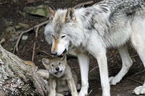 We know they're dangerous but wolf pups are so cute