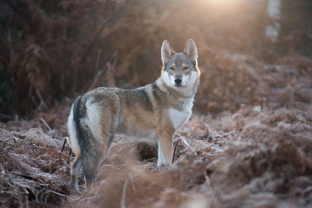 Find the most powerful wolf names here