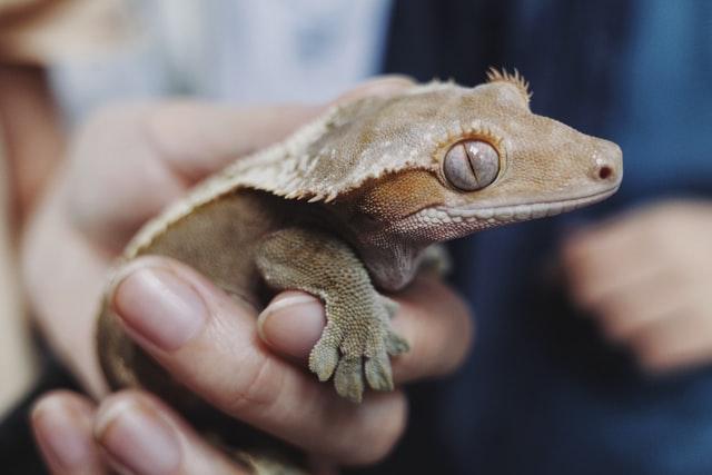 Choose an adorable name for your gecko.