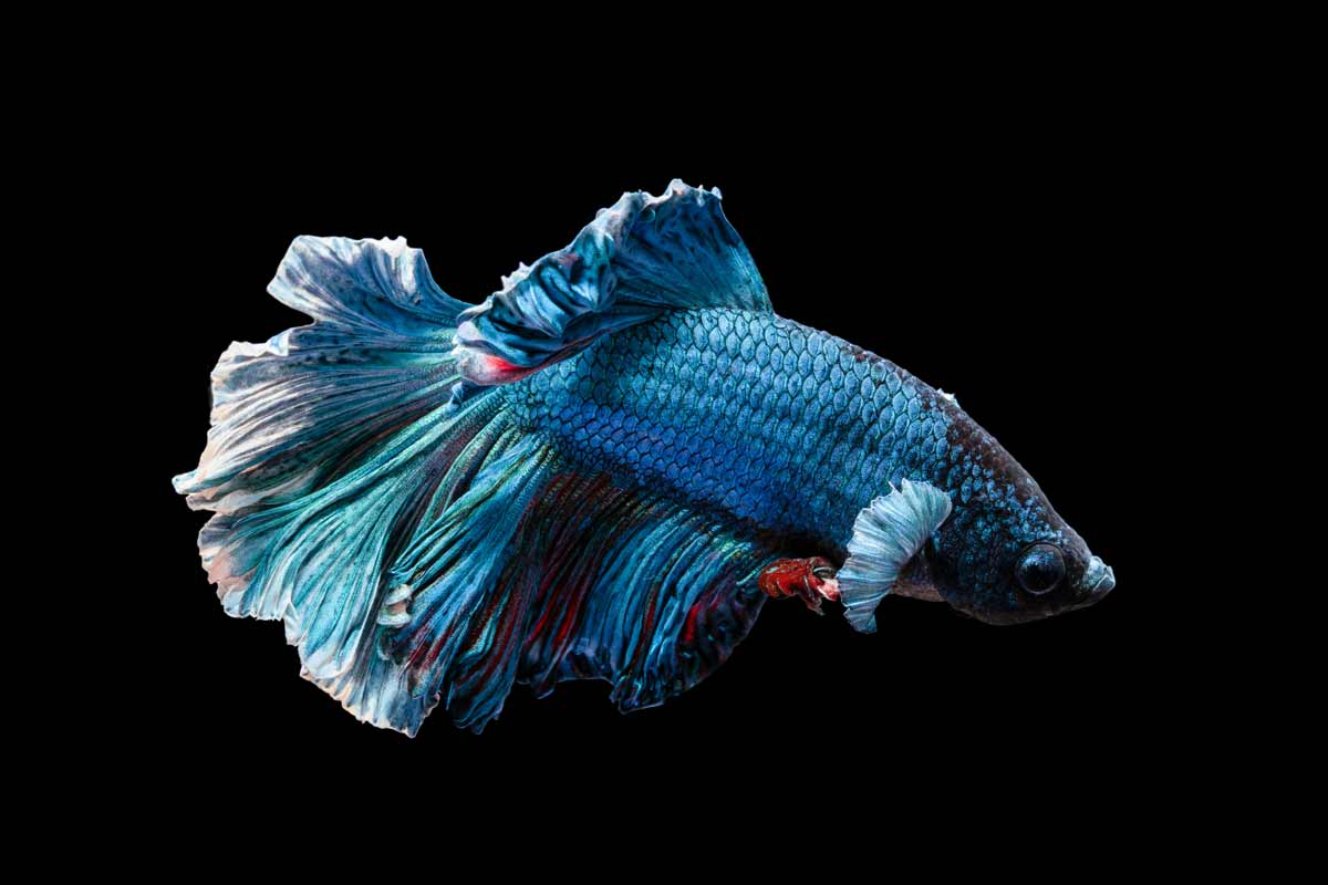 Names that are perfect for the blue betta fish