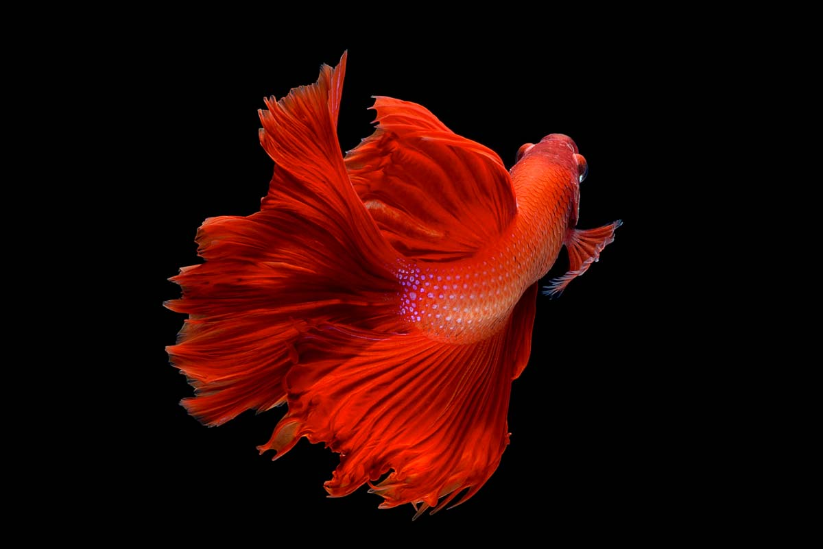 Names that were made for the red betta fish
