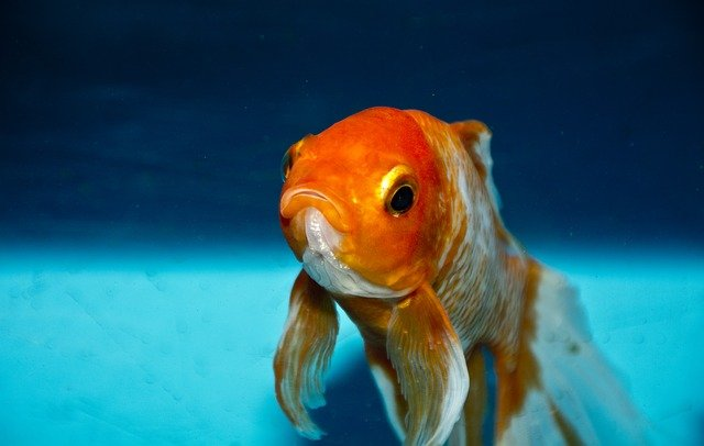 Goldfish are different from betta fish and so should their names be.