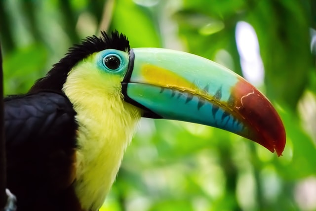 The toucan beak can be many different color variations.