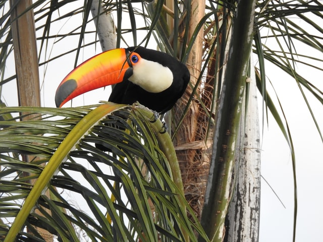Toucans beaks are made from keratin like our nails and hair.