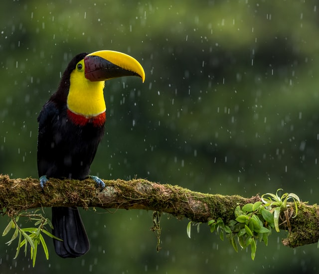 You rarely find toucans flying because they prefer to sit.