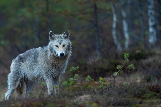 If you are interested in last names that mean wolf, which can make perfect character names inspired by the wild majestic mammals themselves, then keep on reading
