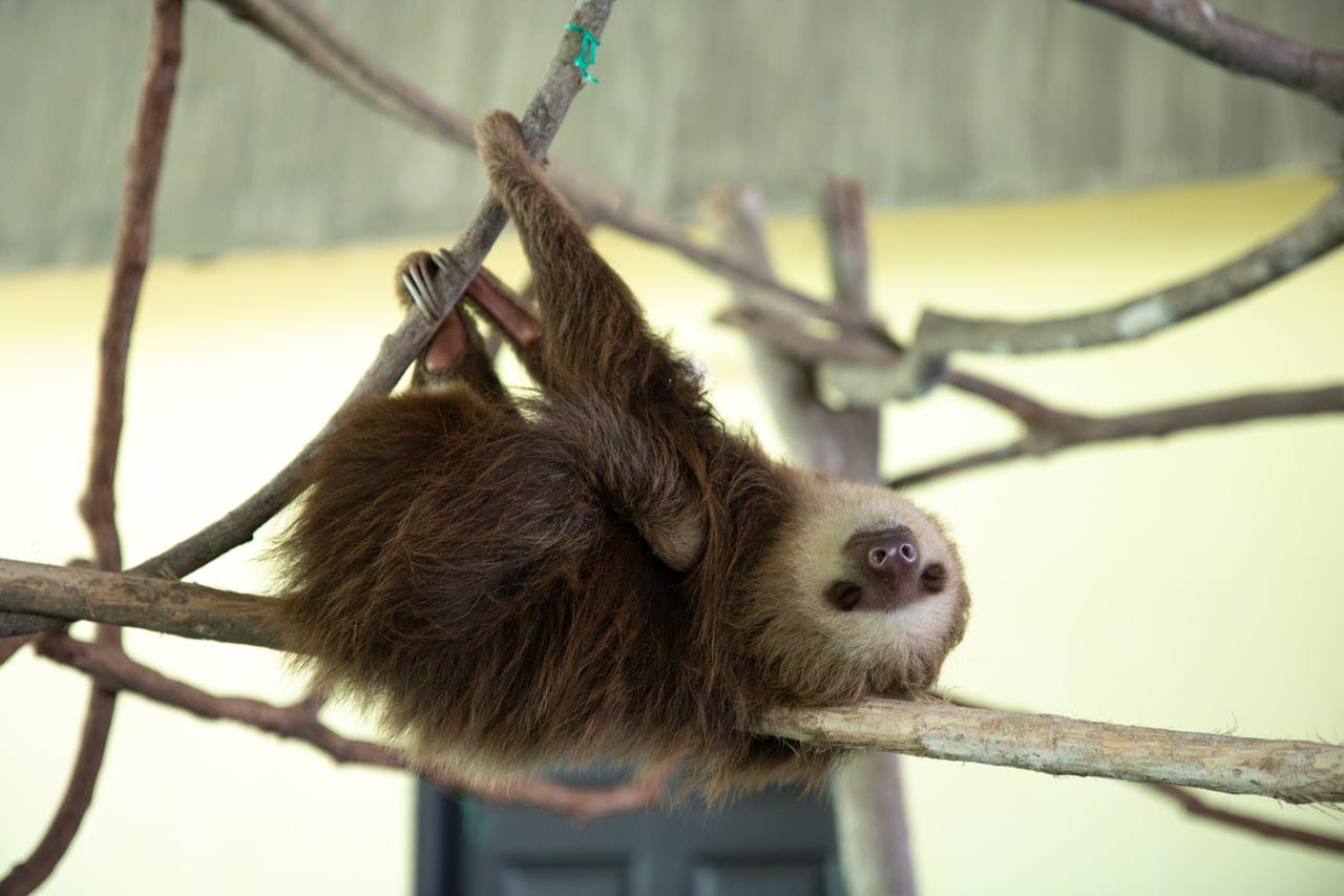 Sloths are quite human-like when they use their hands.