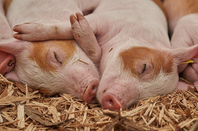 Baby pigs are called piglets.