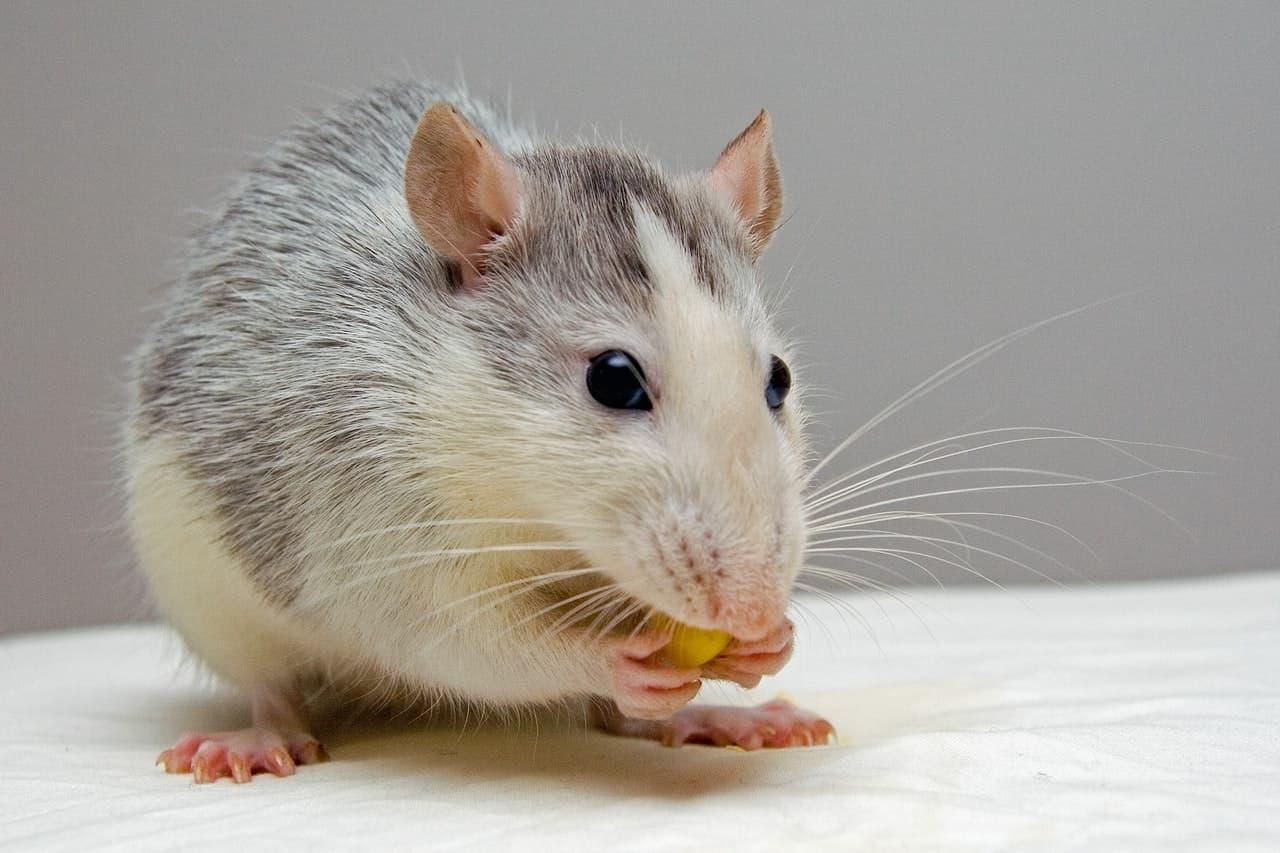 Did you know mice teeth never stop growing? They wear them down with lots of nibbling!
