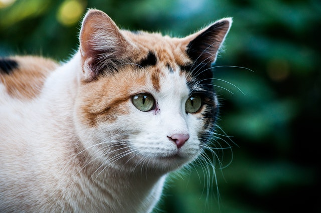 Calico cats are very rare.