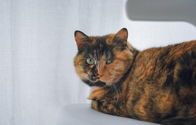 Calicos are normally orange, black and white.