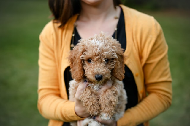 A male Goldendoodle puppy should really stand out with a unique name of his.