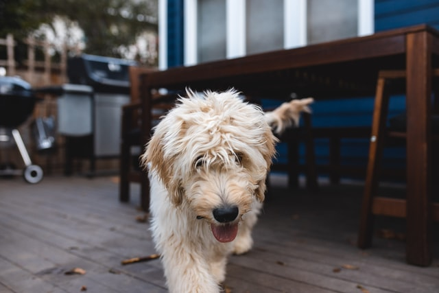 Female Goldendoodle puppies are adorable and cuddly, she will become a great friend.